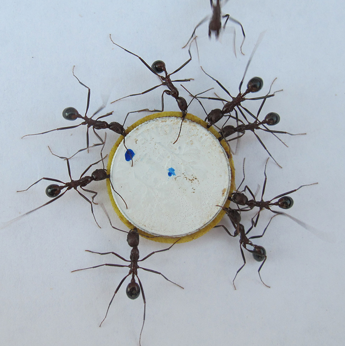 Teamwork by ants and robots